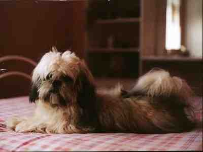 lhassa apso vente lhassa apso nord elevage canin dunkerque. Black Bedroom Furniture Sets. Home Design Ideas