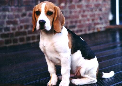 Beagle vente beagle nord elevage canin dunkerque - Beagle adulte ...