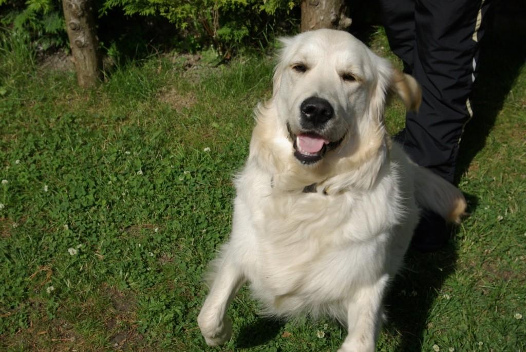 Album photos Golden retriever, elevage canin Dunkerque Nord