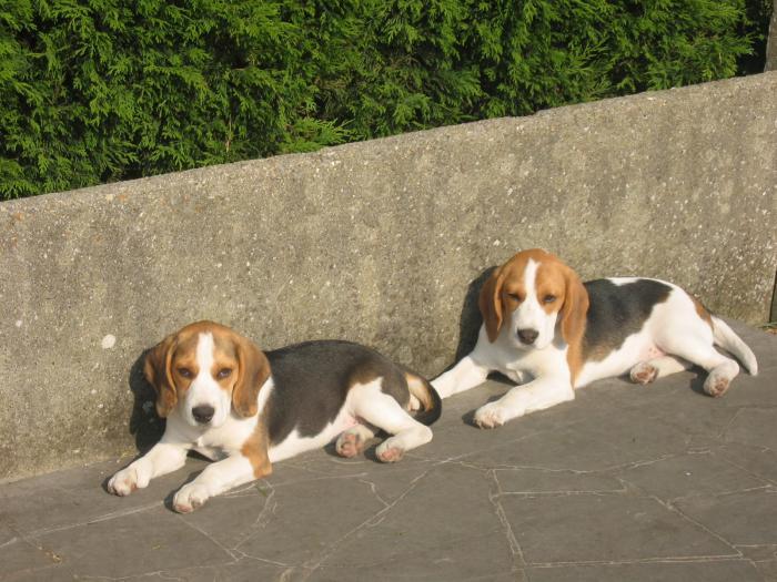 Livre d or beagle source notre dame elevage beagle - Chiot beagle gratuit ...