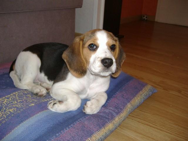 Livre d 39 or beagle source notre dame elevage beagle - Beagle adulte ...