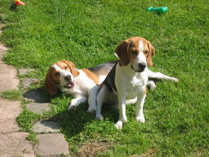 Livre d or beagle source notre dame elevage beagle - Chien beagle adulte ...