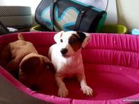 Jack et parson russel terrier