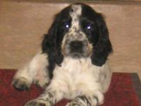 Cocker anglais (spaniel)