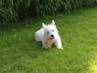 West-Highland white terrier (Westie)