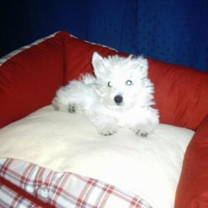 West-highland white terrier (westie)