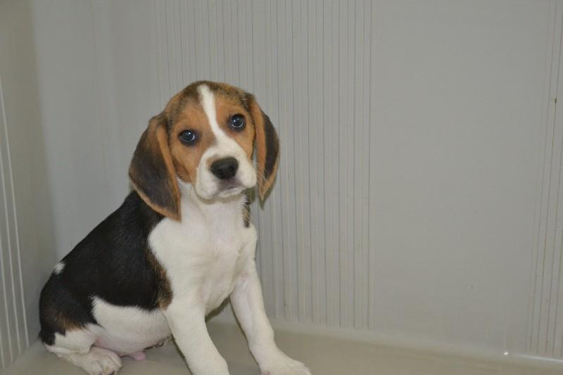 Port es chiot de race beagle - Chiot beagle gratuit ...